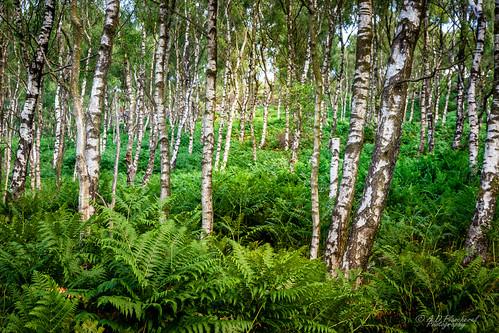 Birch and ferns