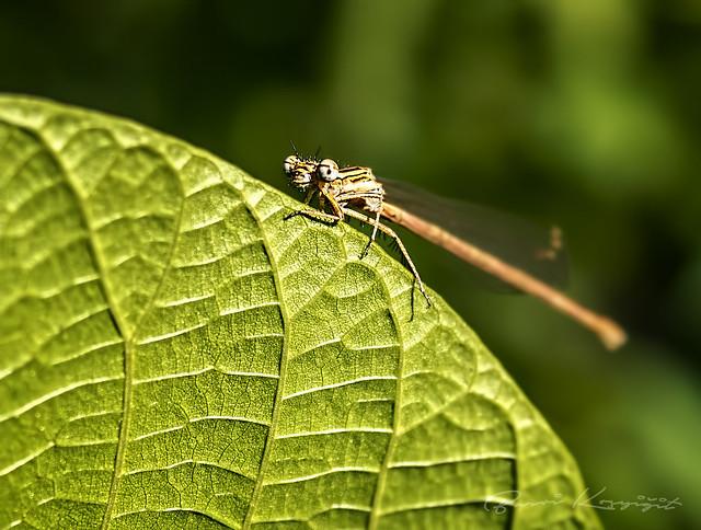 Kız Böceği (  Dragonfly )