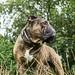 Aramis the Bulldog