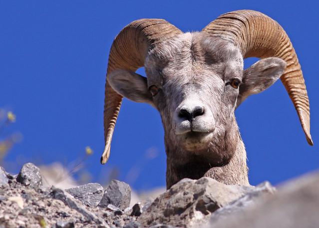 Rocky Mountain Bighorn Sheep...#10
