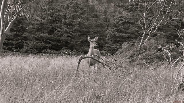 Chevreuil, deer - Parc national du Bic, PQ, Canada - 1718