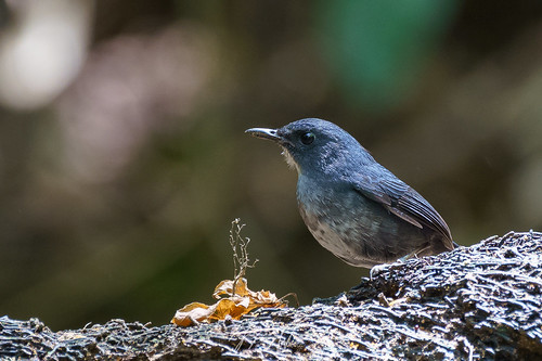 Pale Blue Flycatcher (Cyornis unicolor) 純藍仙鶲