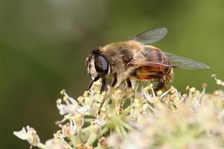 Eristalis tenax female Hoverfly