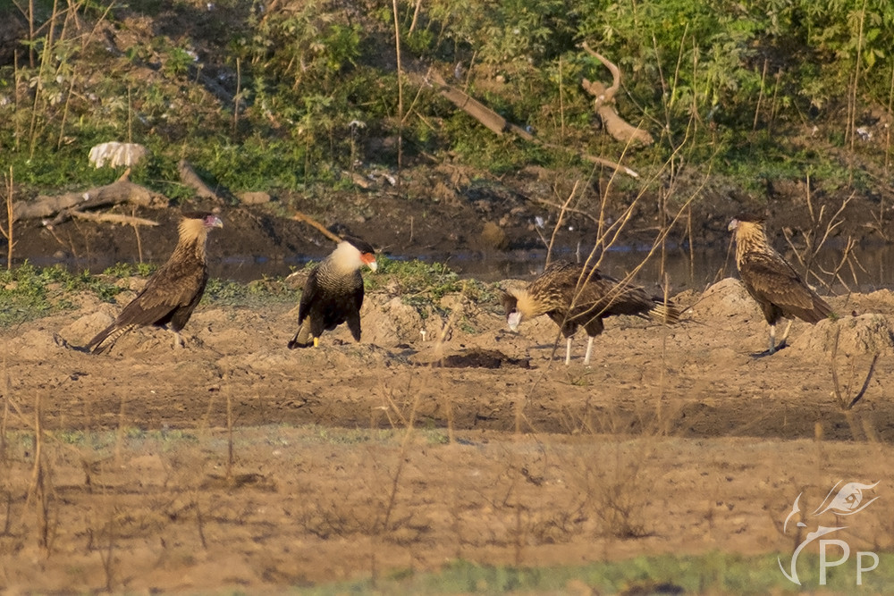 Three young caracaras and one adult ready to lunch.