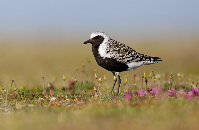 Black-bellied Plover Nome AK June 2019 _89A3450