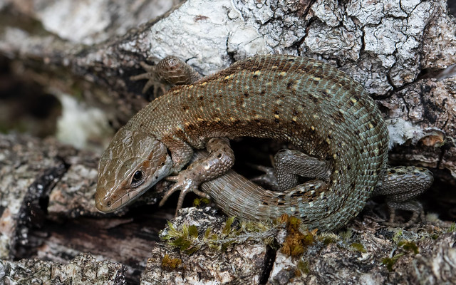 Common lizards at Alners Gorse