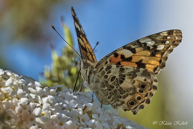 Schmetterling - 20081902