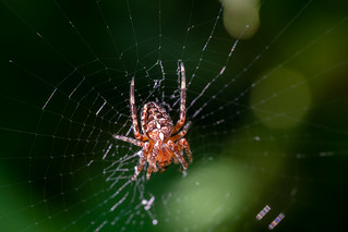 Kreuzspinne im Netz - Cross spider in its web