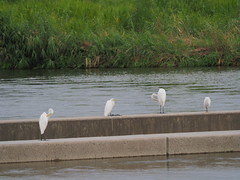 Great egrets and a little egret
