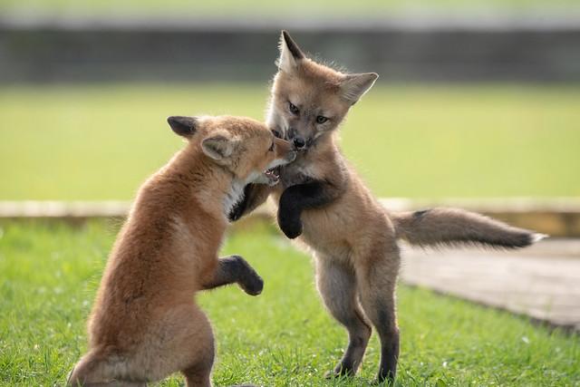 Fox kit playtime