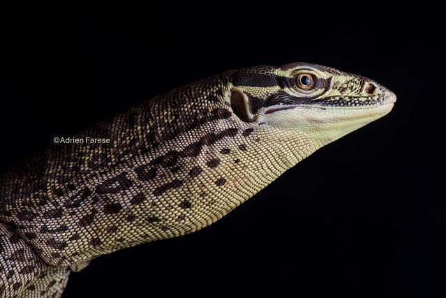 Varanus panoptes horni (BÖHME, 1988)