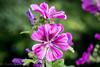 Flower in Magenta