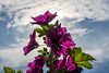 Flower in Magenta against Sky
