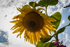Sunflower with Star