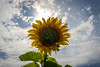 Another Sunflower with Sunstar