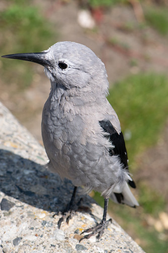 Young Clark's Nutcracker
