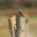 Whinchat (Saxicola rubetra)