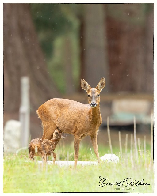 Roe deer and youngster
