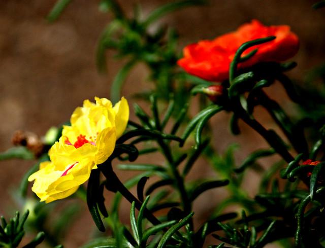 Moss Roses in the Garden
