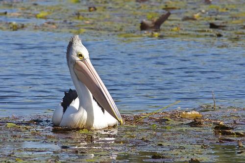 Australian Pelican (Pelecanus conspicillatus), Sydney, Australia