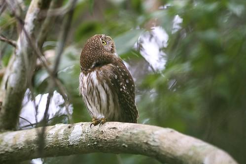 Ferruginous Pygmy Owl (Glaucidium brasilianum), Pantanal, Brazil