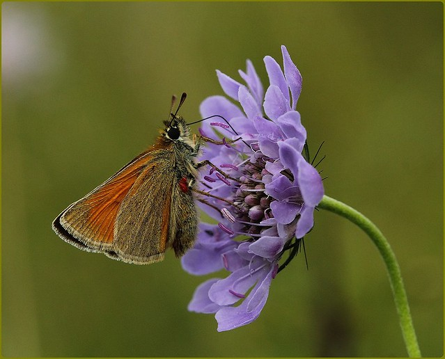 Small Skipper - nectaring on Field Scabious