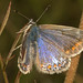 Common Blue (Polyommatus icarus), f