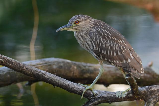 Black-crowned Night Heron (Juv.)