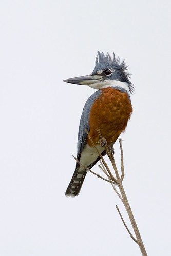 Ringed Kingfisher (Megaceryle torquata), Pouso Allegre, Mato Grosso, Brazil