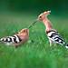 Eurasian hoopoes