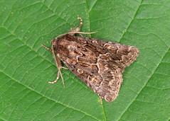 73.109 Straw Underwing - Thalpophila matura