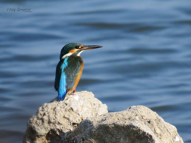 Common kingfisher (Alcedo atthis).