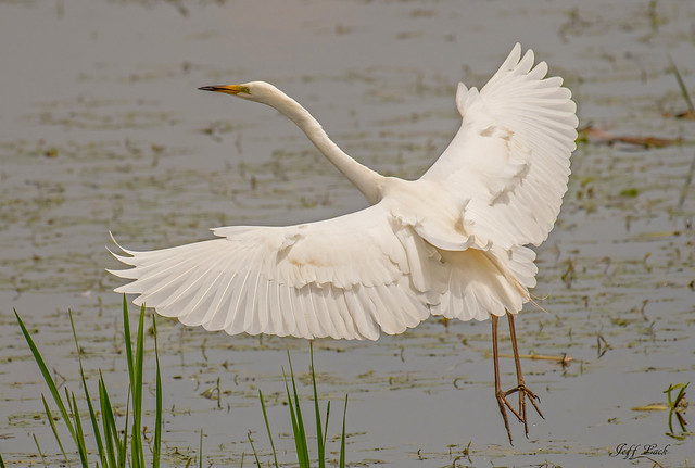 DSC2808  Great White Egret...