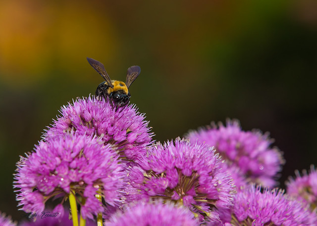 Bumblebee   on a pink  flower