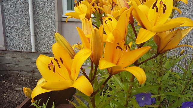 Yellow Lilies, Inverness, July 2019