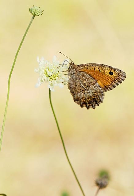 Hyponephele lupina m. 5339