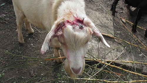 Goat with horns removed Aug 19