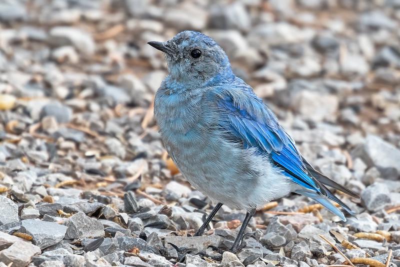 Mountian-Bluebird-2-7D2-081119