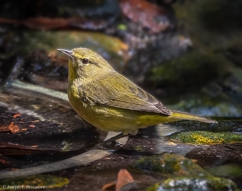 Orange-crowned Warbler (Oreothlypis celata) at the Watering Hole - Tijuana River Preserve, Imperial Beach, California, USA