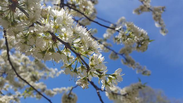 Plum Tree 3