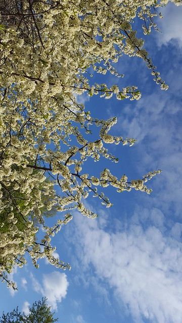Plum Tree 1