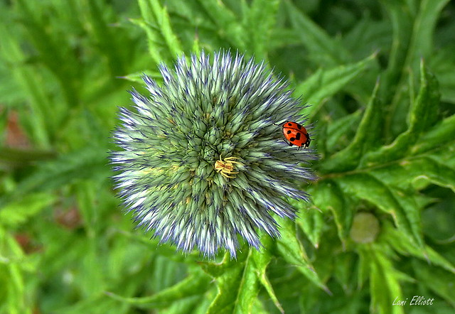 A Pair of Bugs Sharing a Global Thistle.....Looking close....on Friday