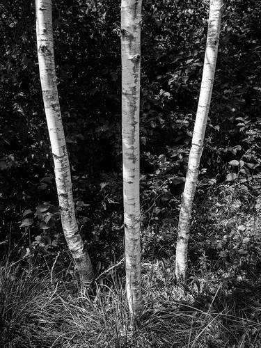 blackandwhite 3 nature monochrome contrast midwest birchtrees m43 microfourthirds governorthompsonstatepark trees summer vertical wisconsin outdoors shadows nopeople olympus1240f28 olympusomdem1mkii