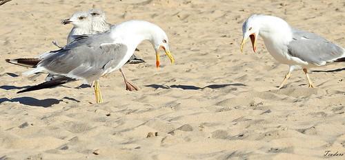 Gaivota-de-patas-amarelas. Larus michahellis