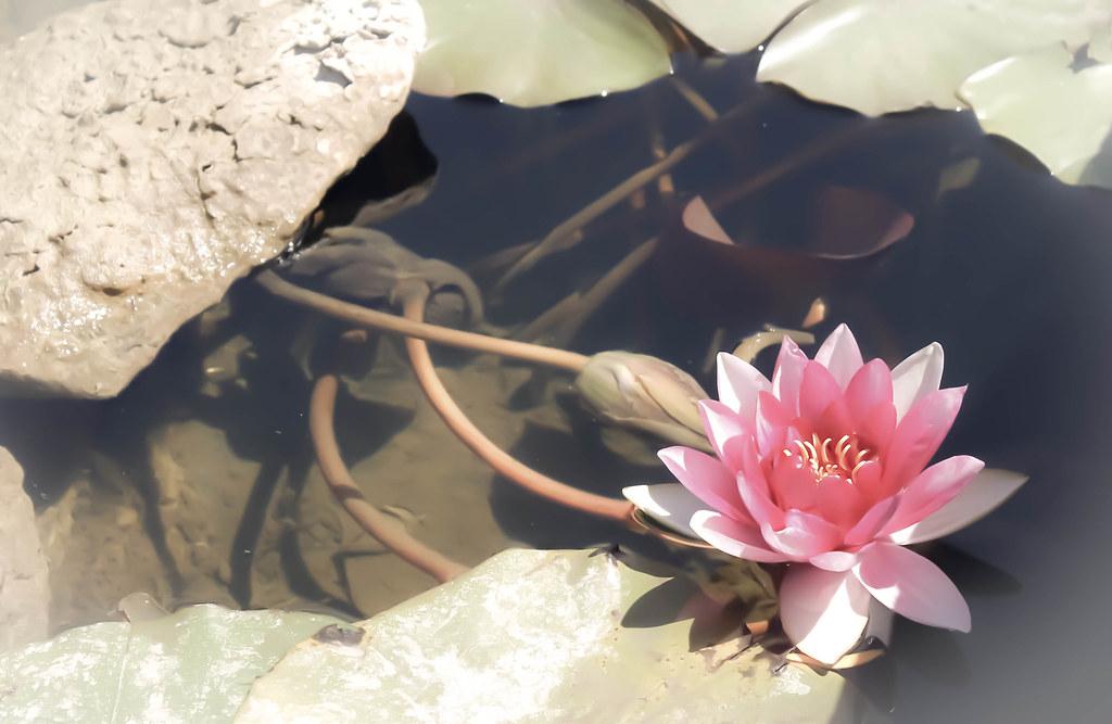 Soledad - Lotus