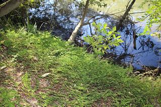 maidenhair fern (Adiantum aethiopicum)
