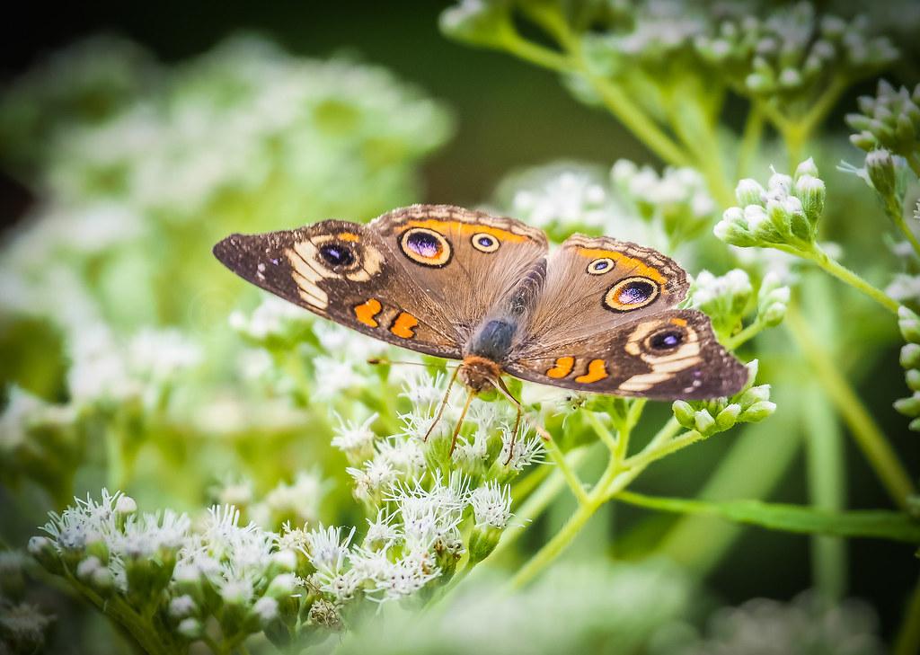 Buckeye Butterfly Top View