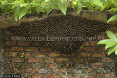 42165 A huge honeycomb of Giant Asiatic Honey Bees (Apis dorsata) hanging beneath a Noni tree (Morinda citrifolia) in an urban garden, Ipoh, Perak, Malaysia