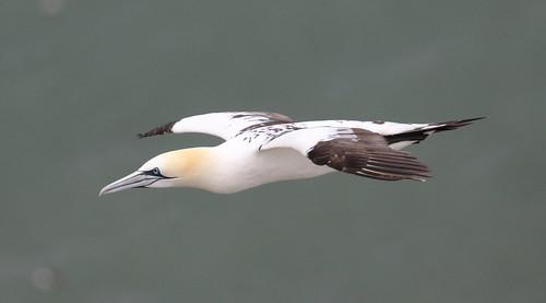 Northern Gannet Morus bassanus