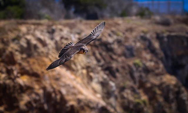 Peregrine Falcon  Palos Verdes Peninsula  Southern California -410